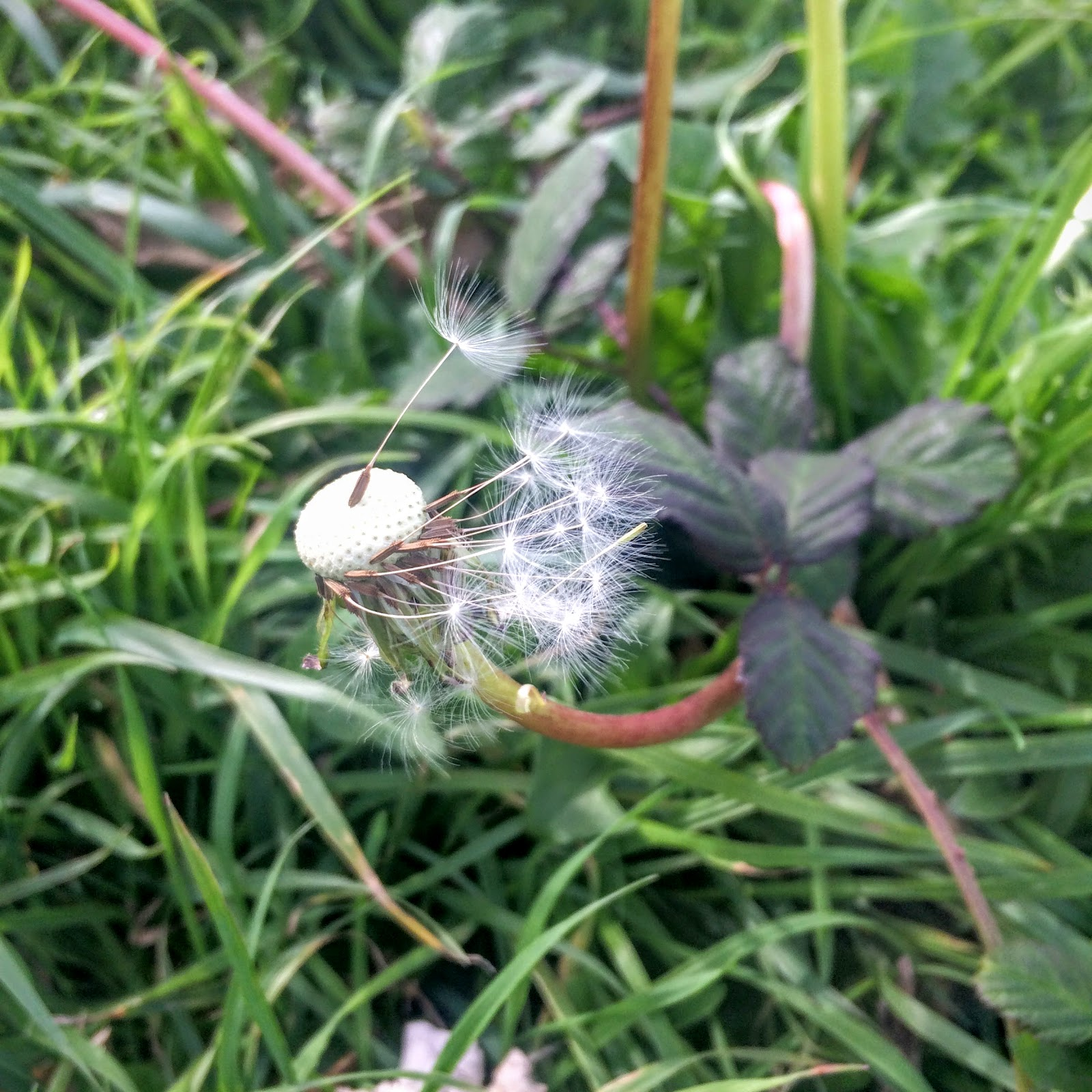 dandelion, sycamore seeds, helicopter, sycamore, seed dispersal, eaves, autumn leaves, throw leaves, fall leaves, fall, leaves on ground, play in leaves,  school runs, pembrokeshire, rural life, everyday, nature walk, pink flowers,