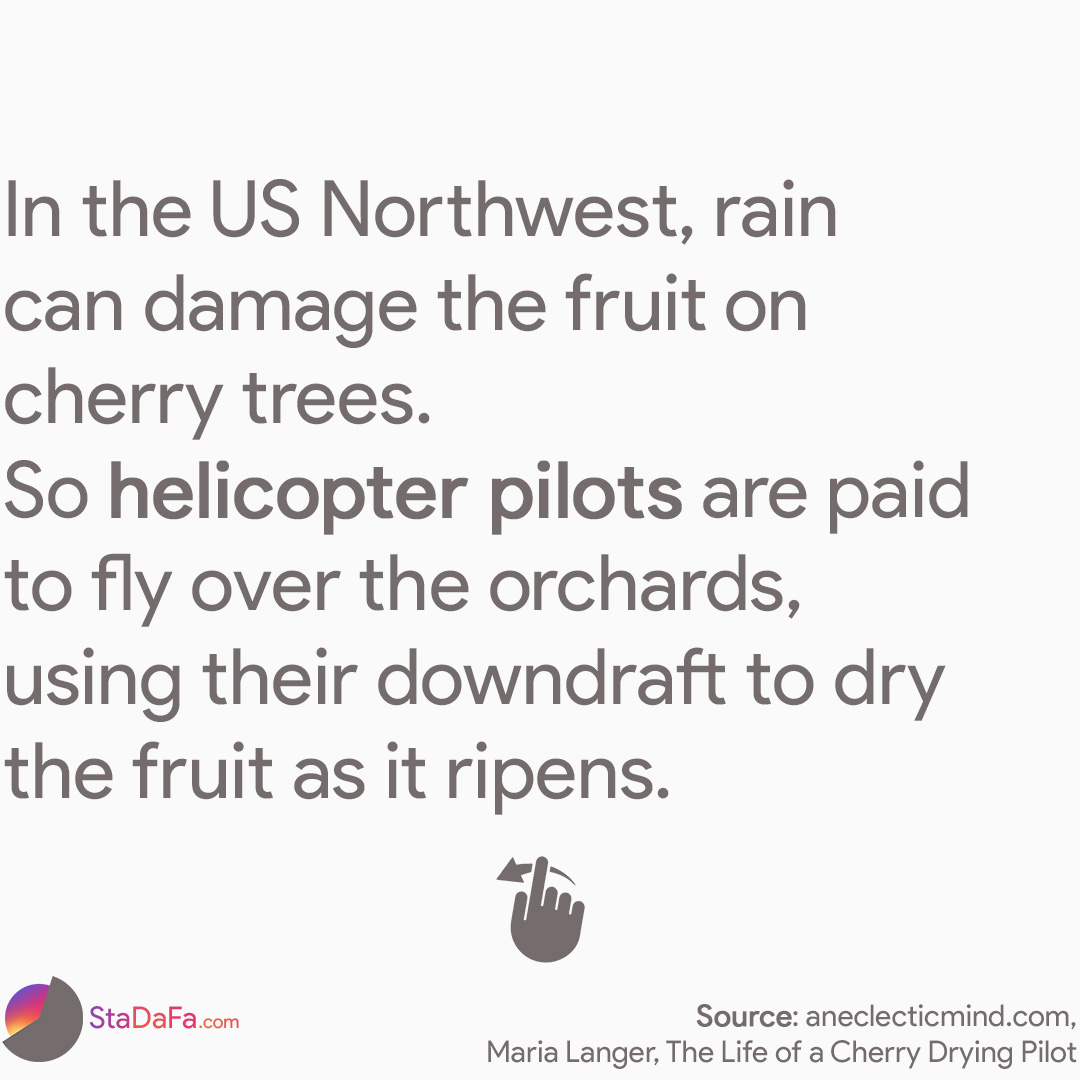 In the US Northwest, rain can damage the fruit on cherry trees. So helicopter pilots are paid to fly oνer the orchards, using their downdraft to dry the fruit as it ripens.