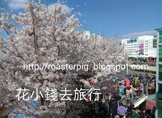 三樂櫻花祭