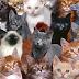 Kucing Ras Orisinil Indonesia