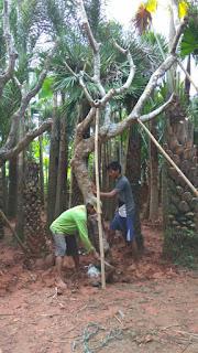 tukang taman minimalis menjual pohon kamboja bali kuning, ping, putih dengan berbagai ukuran dengan harga murah