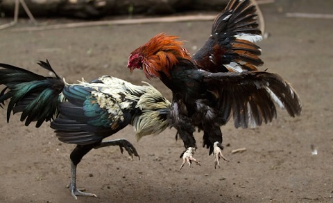 Đá gà trực tuyến được nhiều người ưa chuộng