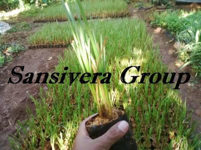 Rumput-Vetiver-Anti-Longsor-Akar-Wangi