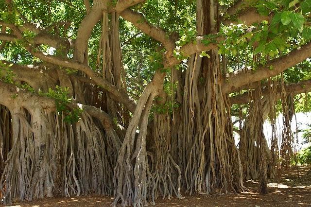 National Tree of India Tree png of Banyan