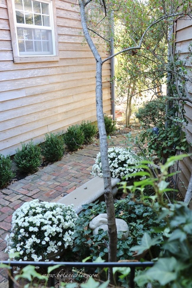 Fall Front Entry Garden With White Chrysanthemums with vintage brick walkway and boxwood shrubs