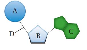 النيوكليوتيد