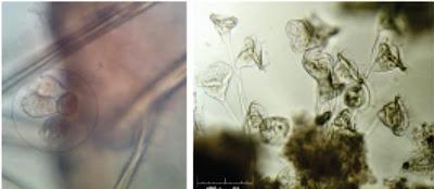 Penyakit Protozoa Pada Ikan : Zoothamniumiosis