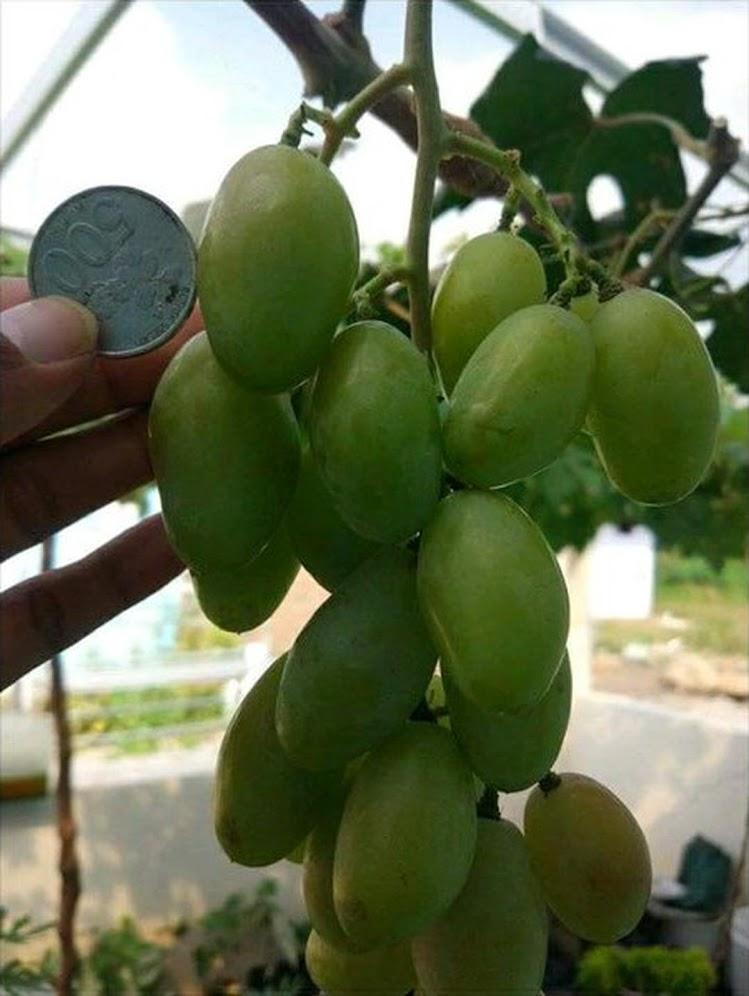 Bibit Anggur Import Dixon COD Batam