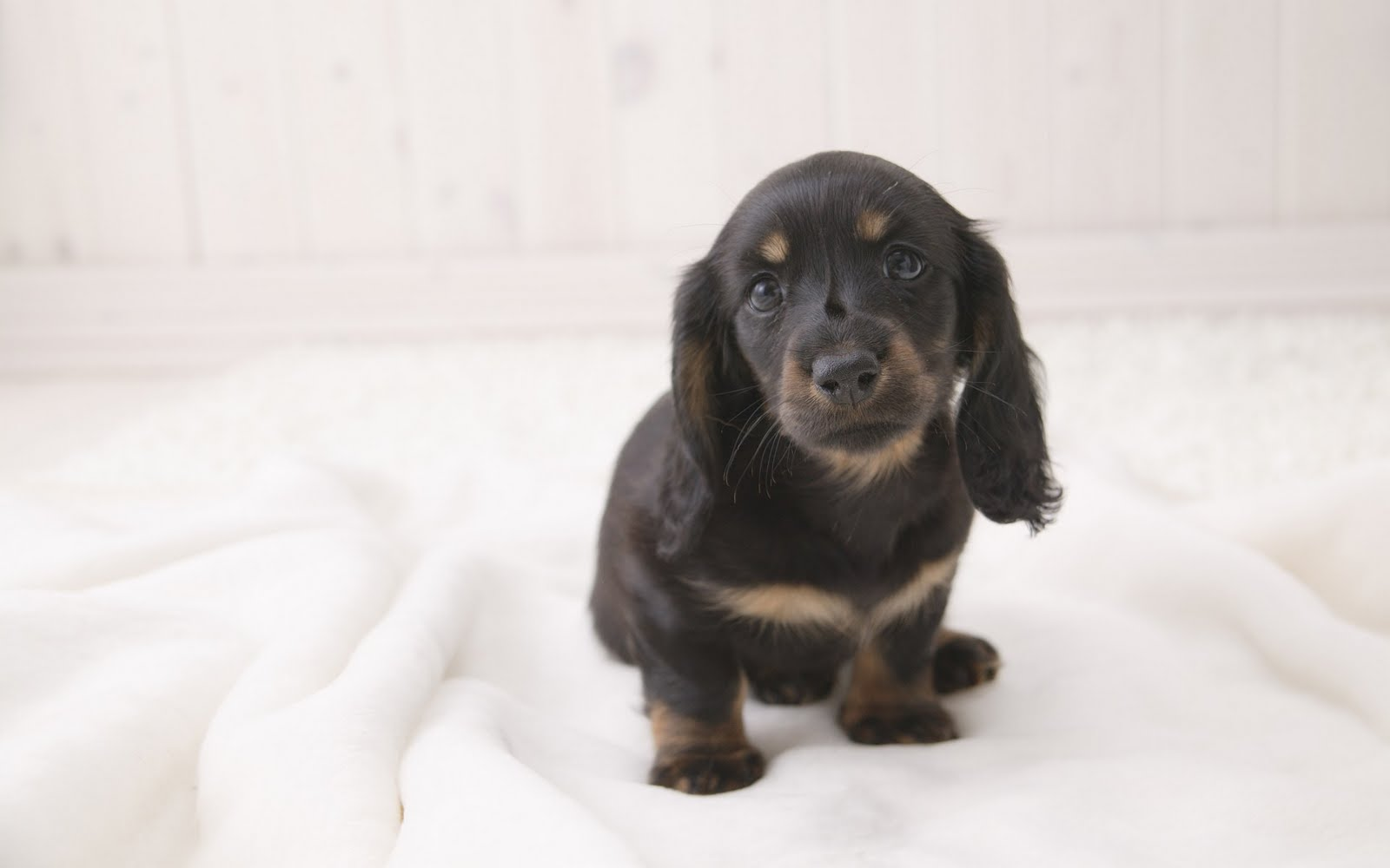 Dog Breeds Wallpaper Backgrounds Desktop Background