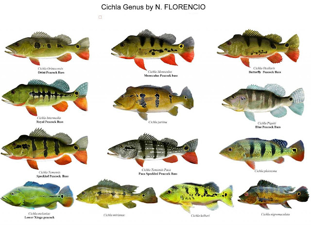 All Different Cichla Species