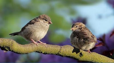 sepasang burung