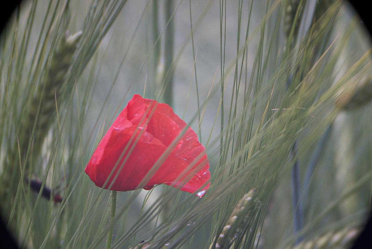 Mohn im Getreide