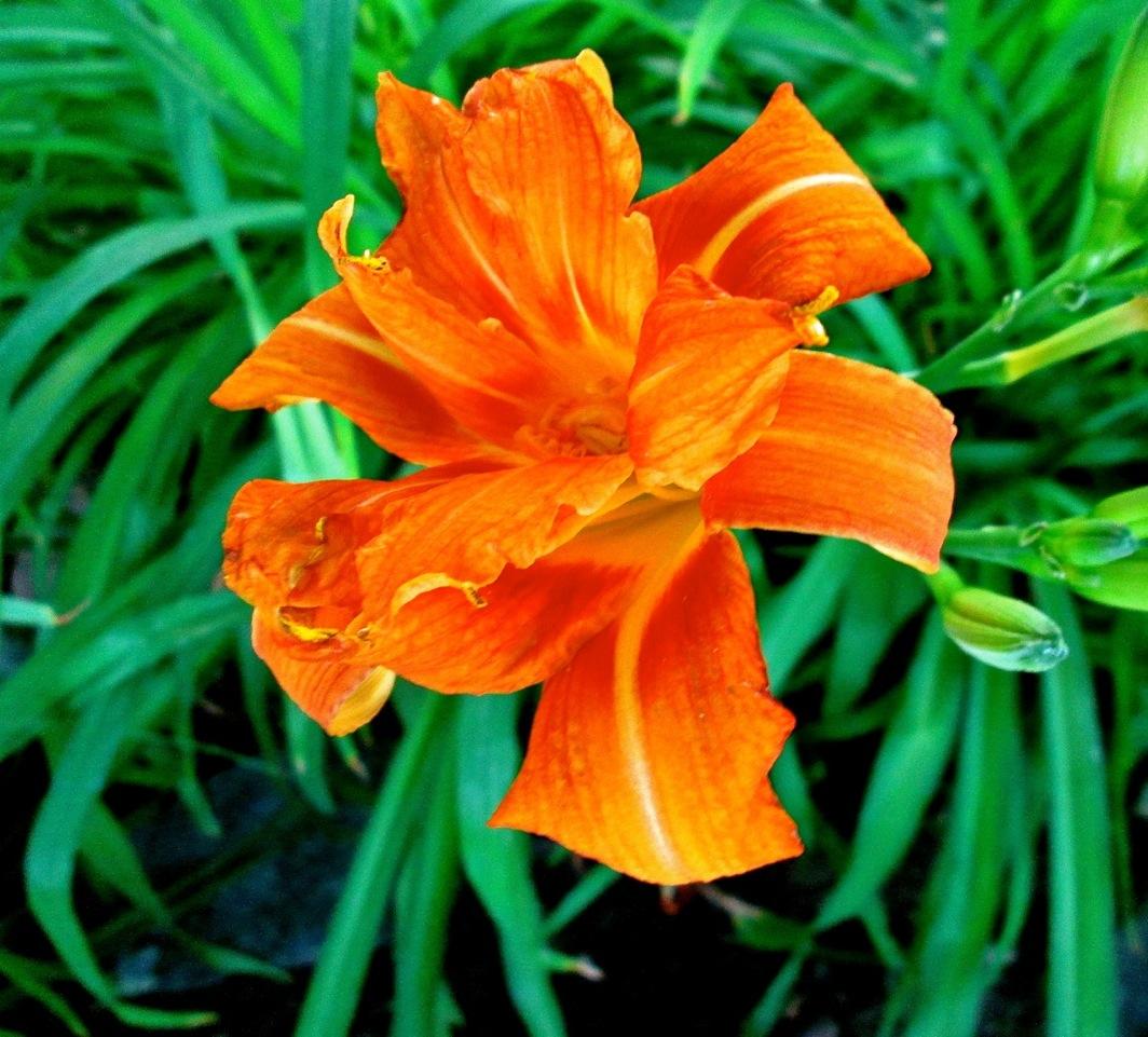 Orange lily like flower sevenstonesinc flowers lily photos free jpg lilies orange izmirmasajfo