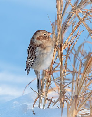 Photo of Field Sparrow in snowy grass