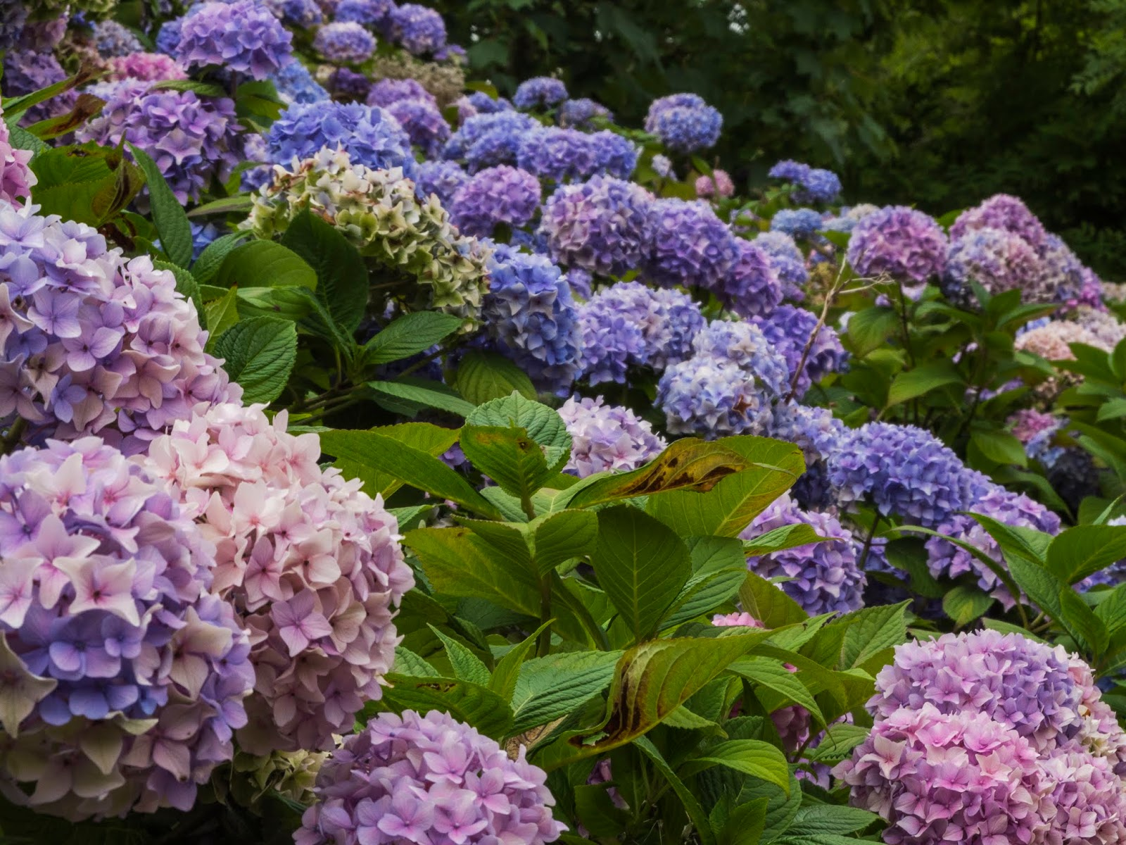 Pink and blue Hydrangea bushes.