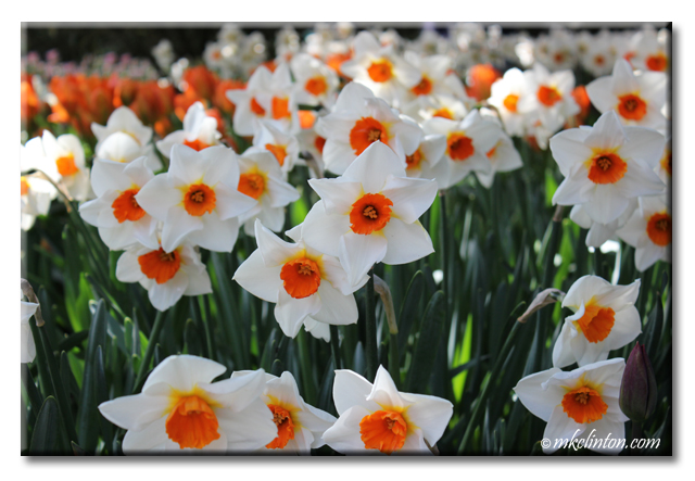 Daffodils at Tulip & Daffodil Festival in Washington