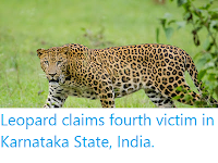 https://sciencythoughts.blogspot.com/2020/03/leopard-claims-fourth-victim-in.html