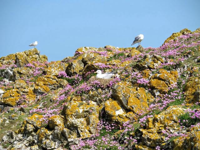 Day trip to Ireland's Eye Island - seagulls, wildflowers, and lichen