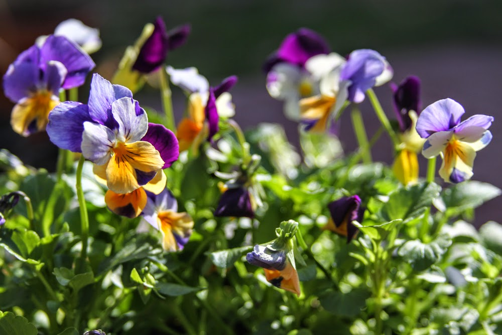 violas, spring flowers, pansies, Anne Butera, My Giant Strawberry