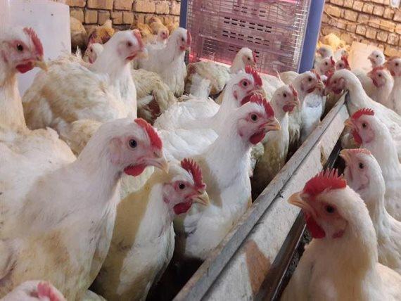 دجاج المهدية تونس