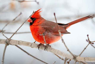 Northern Cardinal - Photo by Tina Nord from Pexels