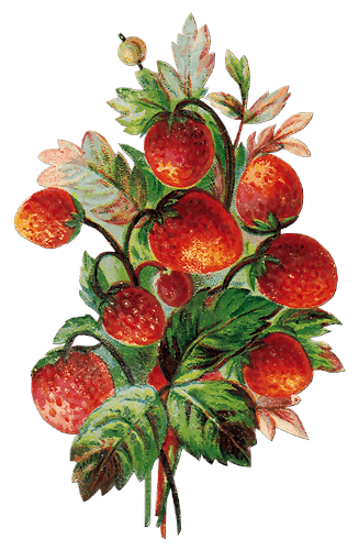 fruta vintage png clip art scrap