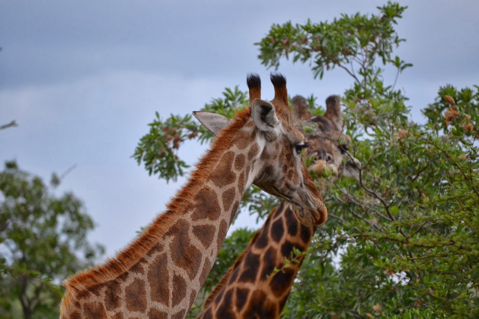 Two giraffe eating leaves