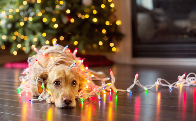 Golden Retriever lying wrapped in tinsel next to a Christmas tree with lights