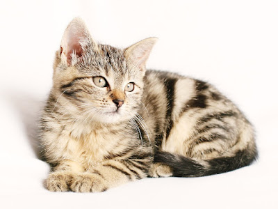 Pet Cats Information & Care