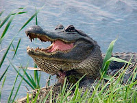 Alligator Animal Pictures