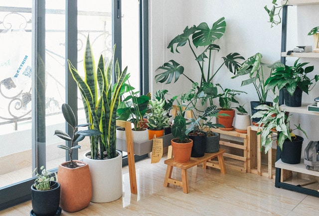 What happens when a plant is kept indoors for a long time?