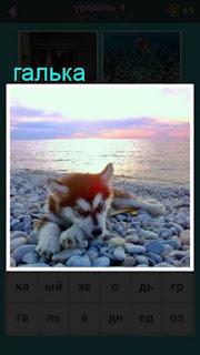 на берегу на гальке лежит собака породы Хаска в игре 667 слов 4 уровень