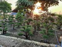 Jenis dan harga bonsai untuk taman rumah