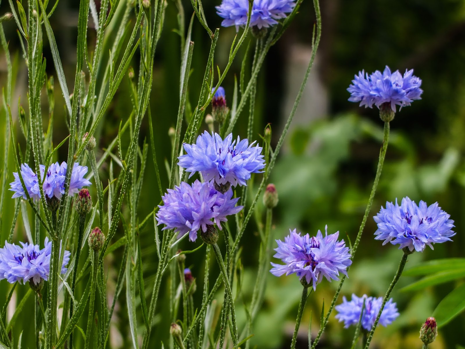 A bunch of blue Bachelor's Button flowers.