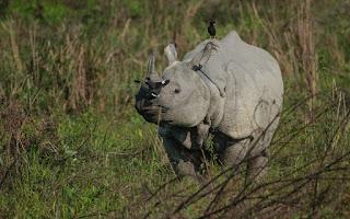 one-horned rhinoceroses of Kaziranga National Park