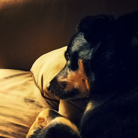 image of Zelda the Black and Tan Mutt curled up on the couch, looking pensive