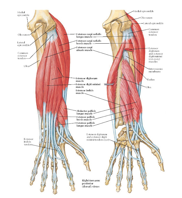 Individual Muscles of Forearm: Extensors of Wrist and Digits Anatomy