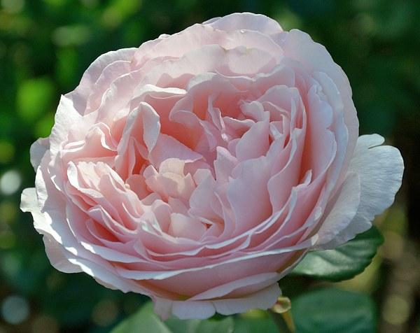 Princesse Charlene de Monaco роза фото