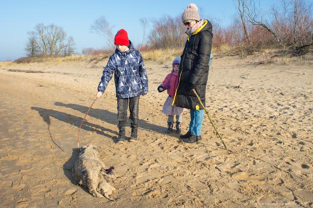 martwa foka szara w w rezerwacie Mewia Łacha