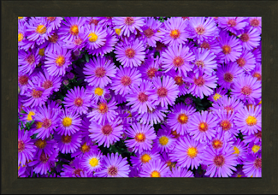 New England Aster _7863