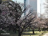 Blooming plum trees (ume) - Hama-Rikyu Garden, Tokyo, Japan