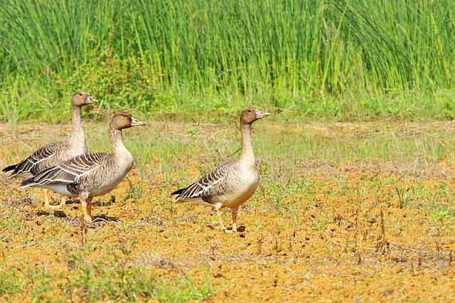 three Bean Geese, field, birds, wildlife