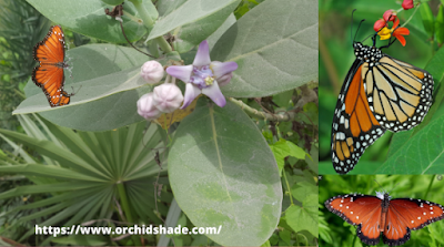 Giant Milkweed plant with Butterfly