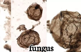 fungus-fossil
