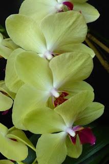 Phalaenopsis Taisuco Glory x Phalaenopsis Taisuco Claire - Doritaenopsis