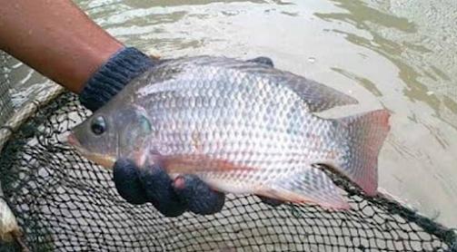 5 Cara Ampuh Memancing Ikan Nila Yang Besar Di Kolam Pemancingan, Perhatikan Senar dan Mata Kail Yang Digunakan,Perhatikan Setelan Pemasangan Pelampung dan Timah Yang Digunakan,Perhatikan Umpan Mancing Ikan Nila Yang Digunakan,Perhatikan Lokasi Meletakkan Kail Pancingan Di Daerah Kolam,tips mancing ikan nila di kolam