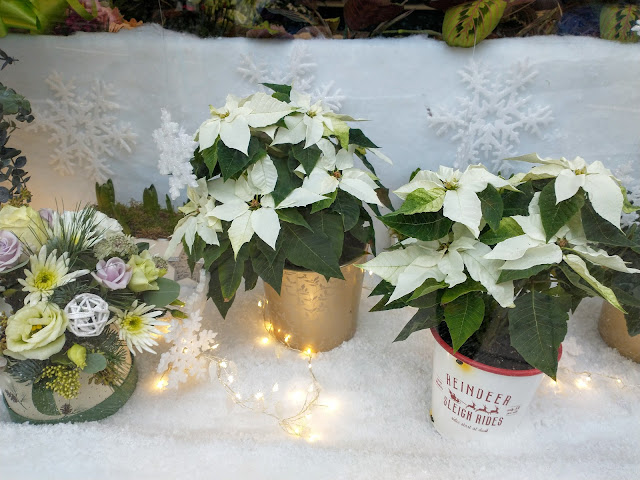 White poinsettias in a window display