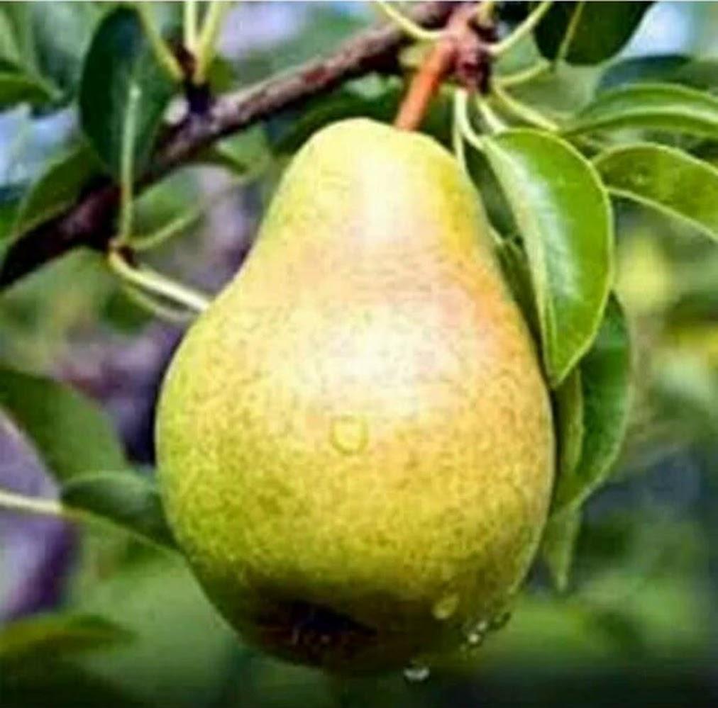 bibit buah pear pir hijau asia Palopo