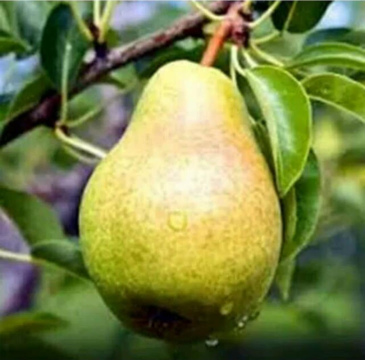 bibit buah pear pir hijau asia Malang
