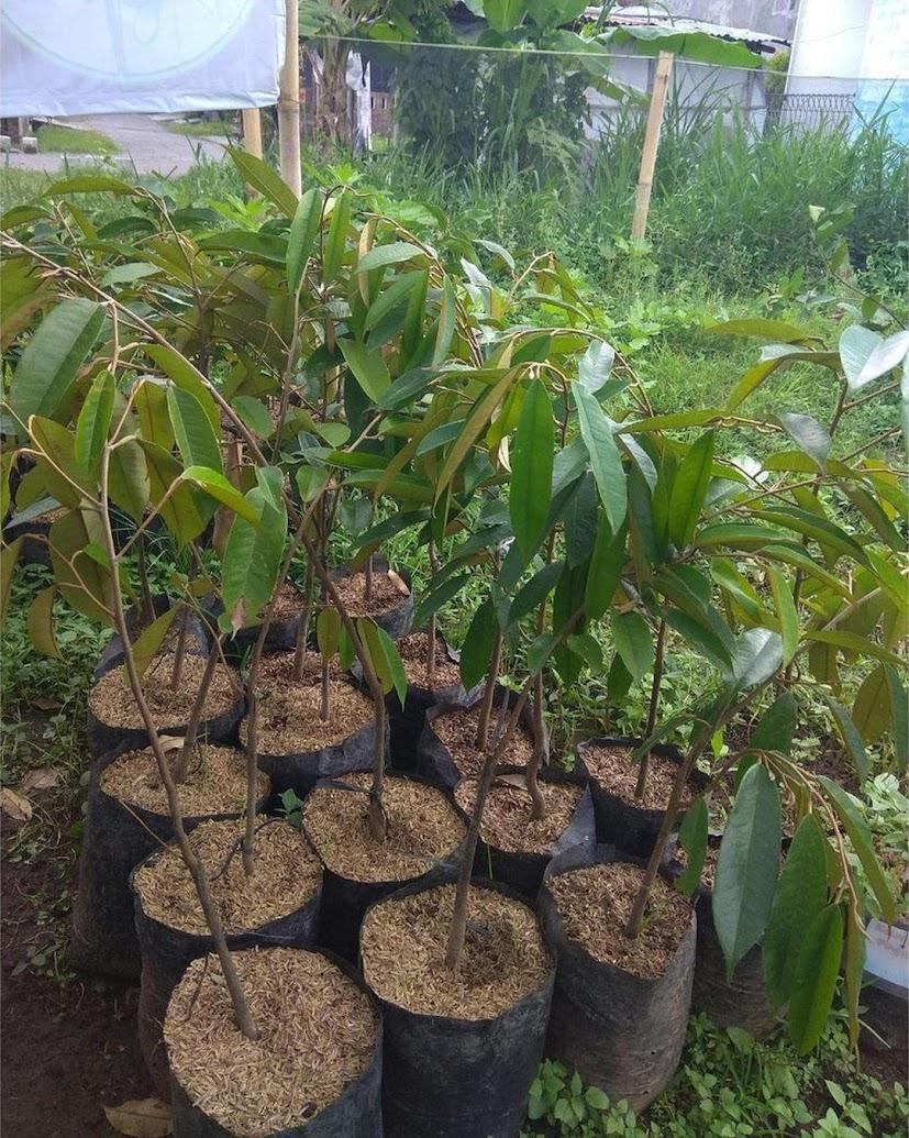 Bibit durian merah super Sumatra Barat